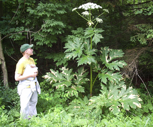 This plant is a giant hogweed, whose spread may be thwarted with geographical profiling.  It causes blistering and blindness.  It is pretty sinister, come to think of it.  Get it off the streets!